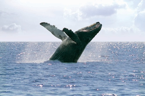 Whale Watching Riviera Nayarit CVB