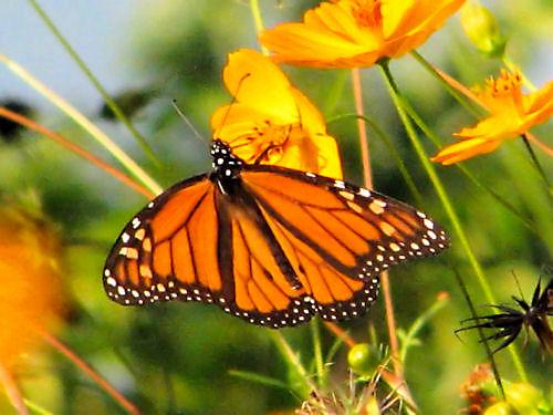 POTW TPA Monarch