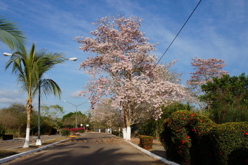 In Bloom: Amapa Tree