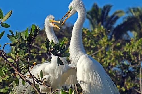 Ken & Bea Great Egrets