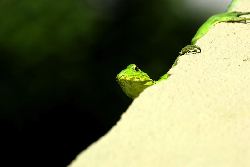 Iguana--5/16/2011