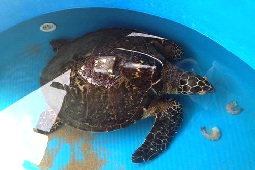 Jaltemba the Hawksbill Turtle