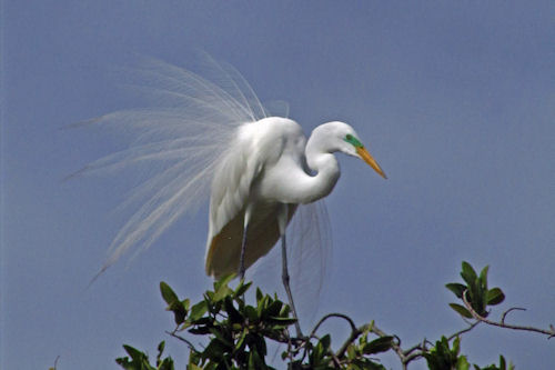 RKB Great Egret