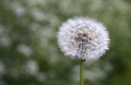 dandelion puff