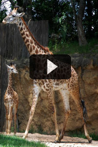 Baby giraffe with play button