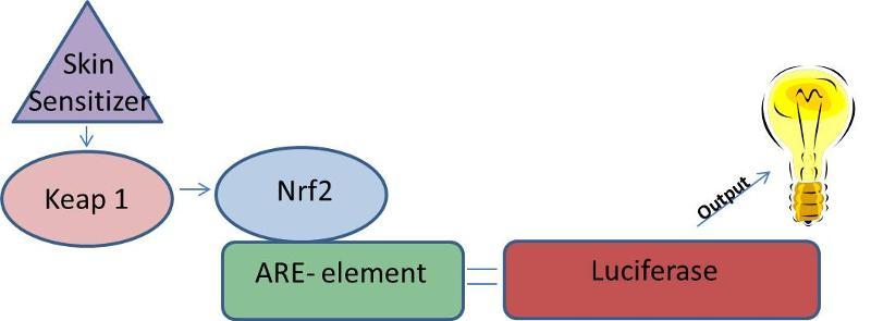 KeratinoSens diagram