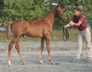 Lingh Foal