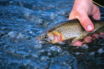 Cutthroat release