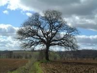 truffle-tree