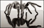 Rosy-haired Tarantula (Grammostola rosea) by Katie McCurdy