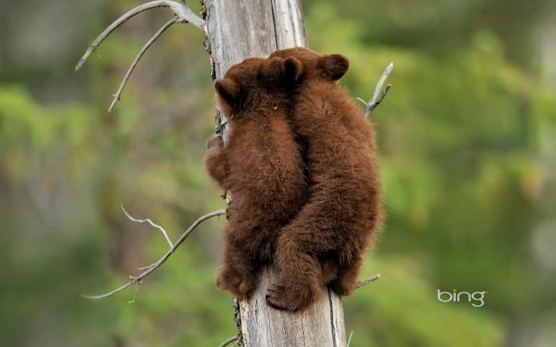 bear cubs on tree
