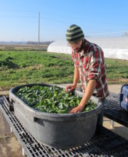 spinach washing outdoors.Kurt