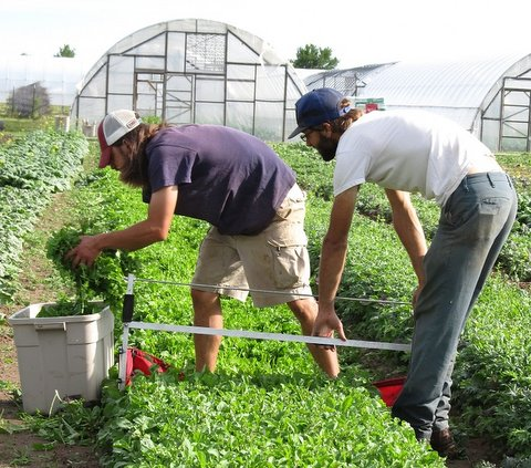 arugula harvesting May '12-cropped