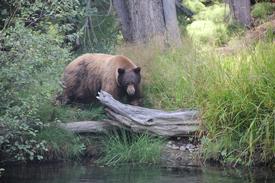 Black bear near Taylor Creek_ South Lake Tahoe