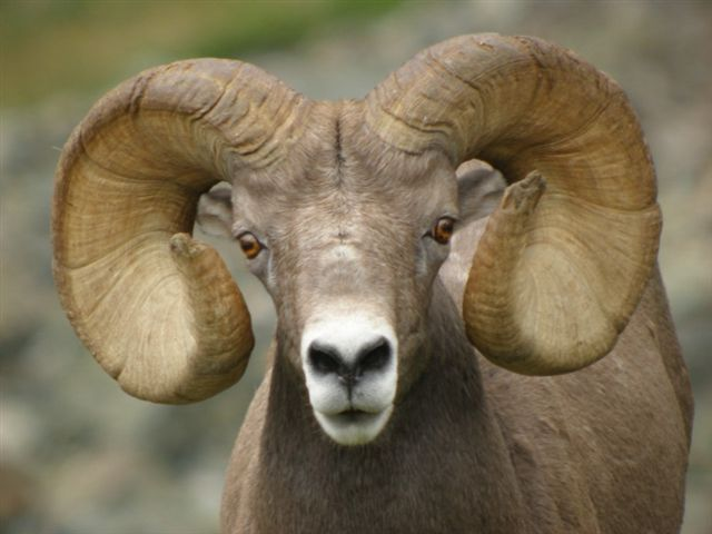 Columbine Hondo/ Big Horn Sheep