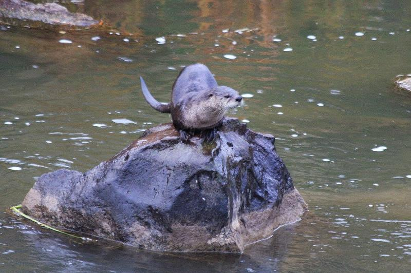 Rocky Otter on Rock