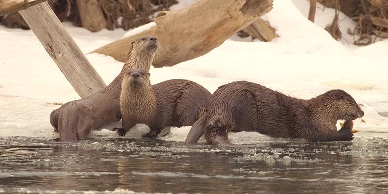 Otter-Winter