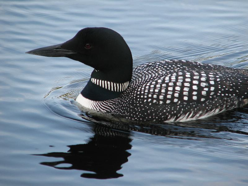 Adult Loon