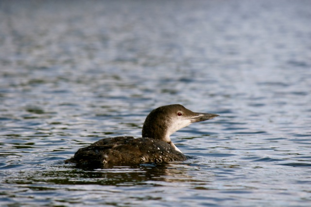 Loon on Kingston Lake