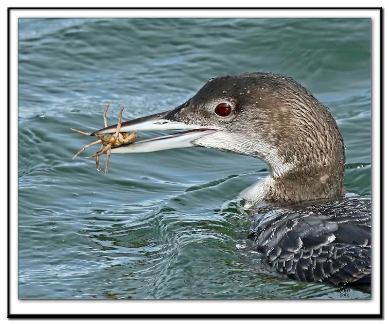 Winter Loon with crab