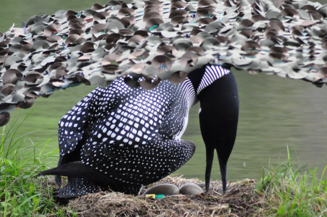Loon turning eggs