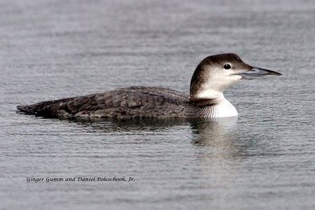 Winter Loon