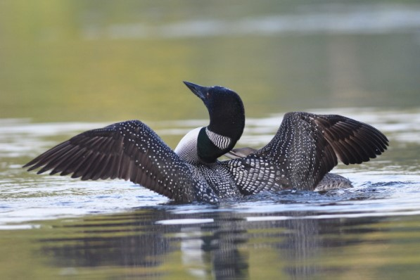 Loon Wingflap