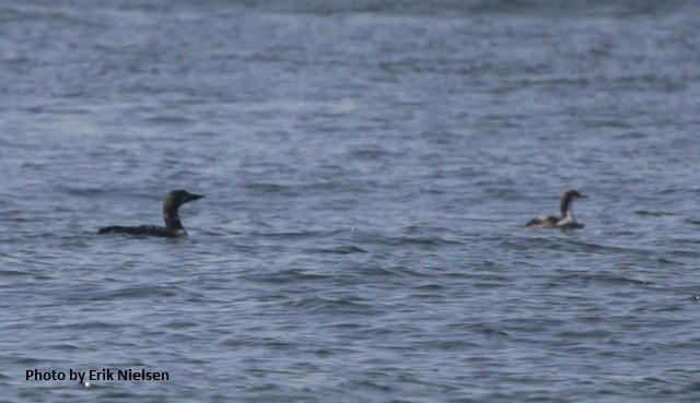 Common Loon & Pacific Loon