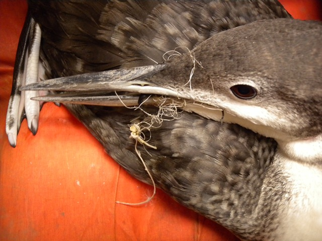 Tangled Immature Loon