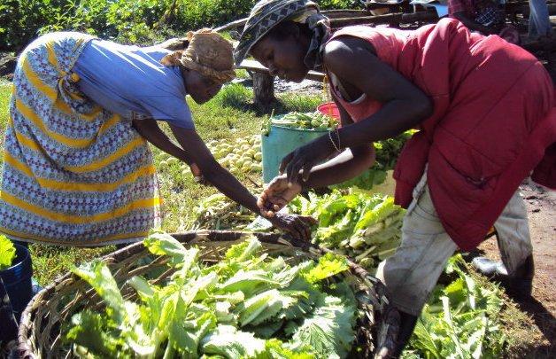Women harvesting lettuce