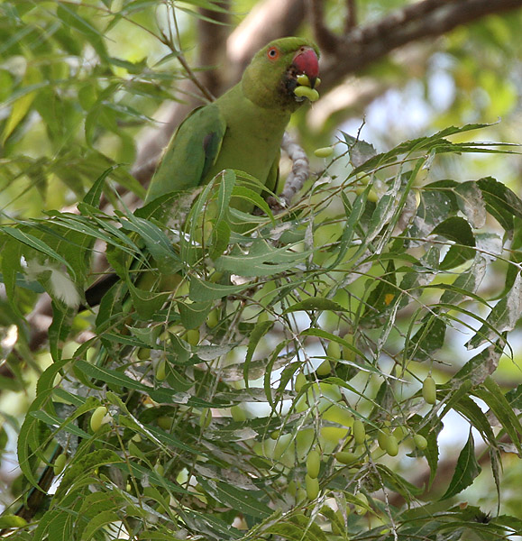 Parrot eating neem