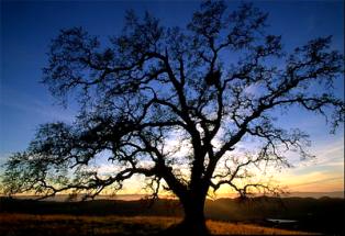 Silhouette of oak tree at sunrise