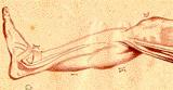 drawing of a lower leg