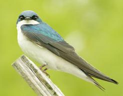 Perched tree swallow