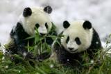 Pandas munching bamboo