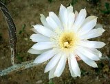 White cactus bloom
