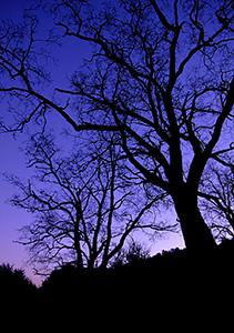 El Cerrito trees at dusk