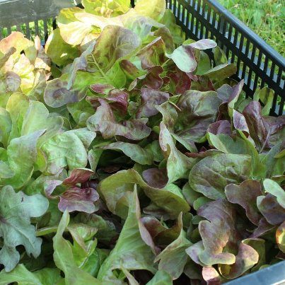 Butterhead Lettuce bound for Tempo