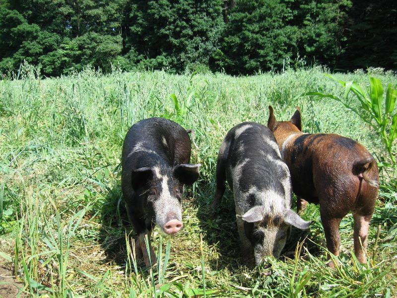 Pigs July 2013