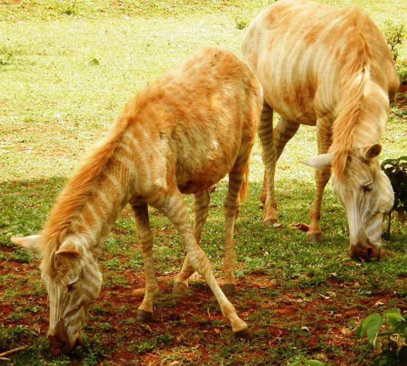 albino zebras