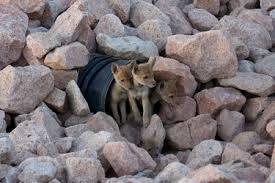 Coyote Babies