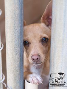 Chihuahua at the Humane Society of Ventura County
