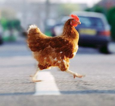 chicken in road