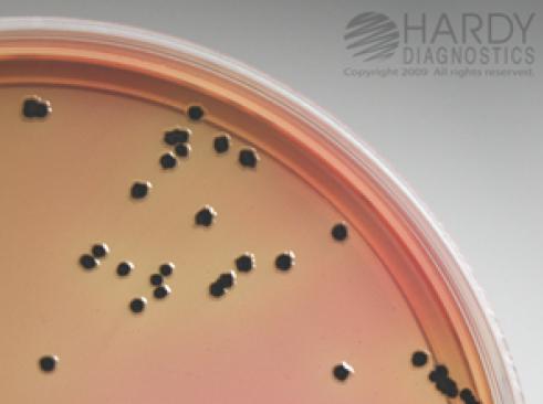 HC SS - Salmonella