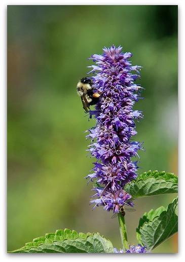 hyssop & bee