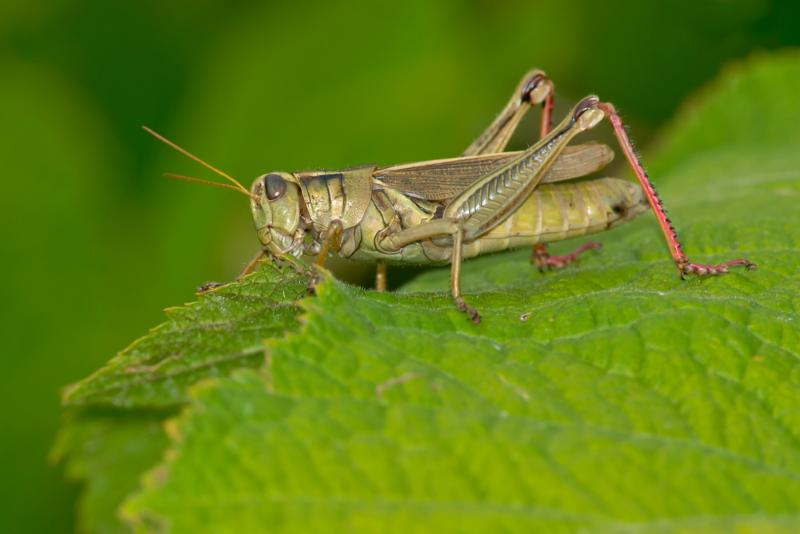 Picture of grass hopper