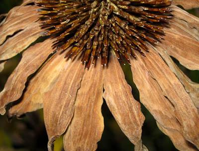 Flower dried