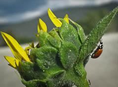 Ladybug up sunflower