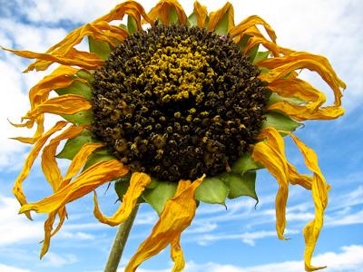 Sunflower fading against sky