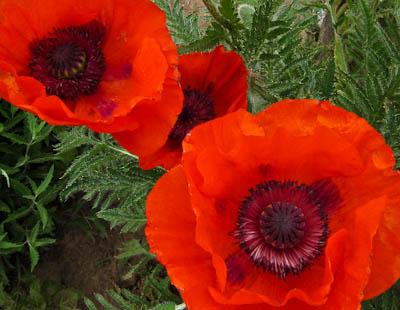 Poppies orange